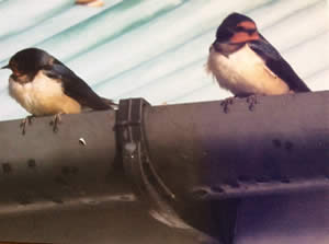Swallows visiting Hill Cottage